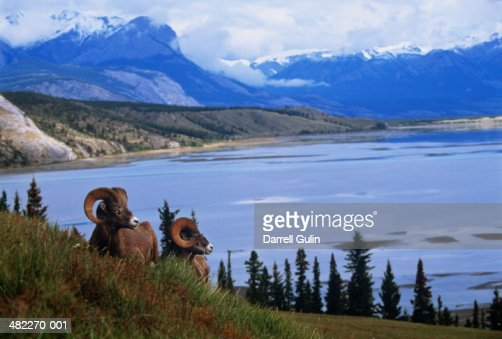 Two Big Horn Rams on hillside, mountains and lake in background : Stock Photo