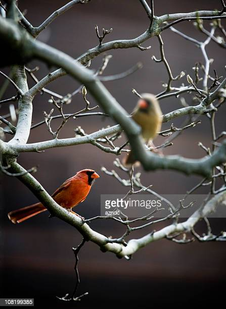 Two Bird Cardinals Sitting on Bare Branches