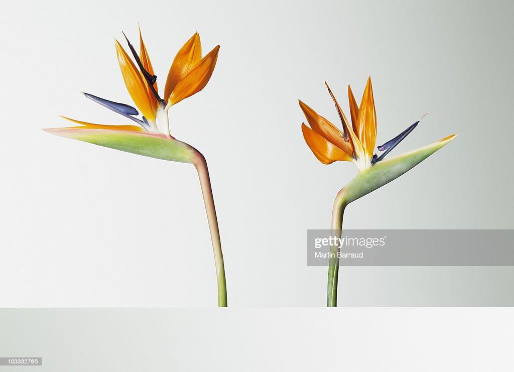 two bird of paradise flowers turning away