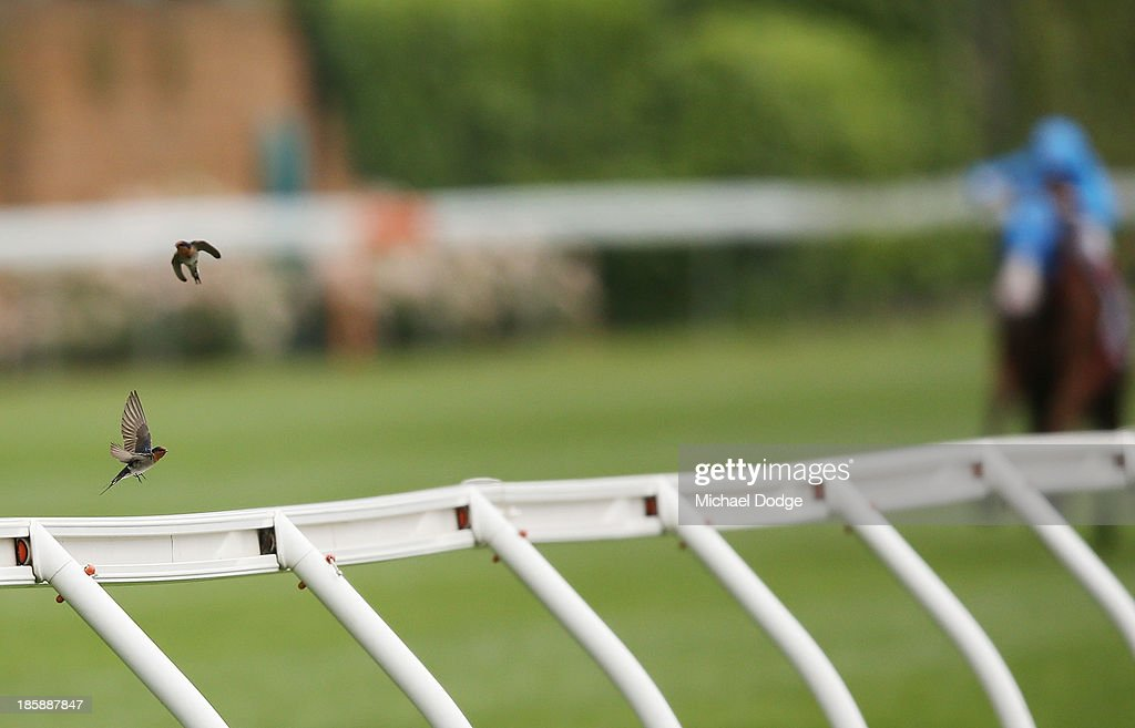 Two birds fly off the fence at the 100m before the horses in during race 4 during Cox Plate Dat at Moonee Valley Racecourse on October 26, 2013 in Melbourne, Australia.