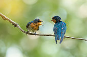 Two Pacific Swallow( Hirundo tahitica ) birds facing each other with open beak.