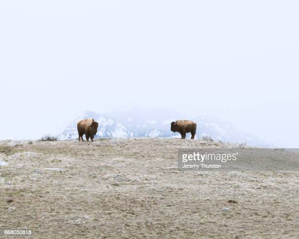 Two Bison Buffalo on a foggy winter day