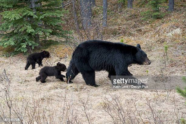 Two Black Bear Cubs Following Their Mother In Jasper National Park