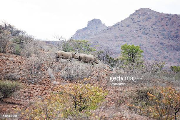 Two black desert rhinoceros running along hillside in typical terrain of bushes and rocky ground