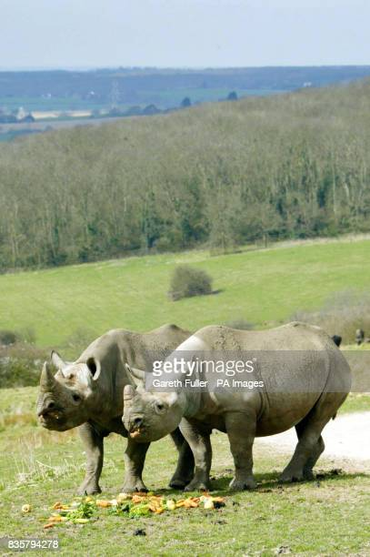 Two black male rhinos Manyara Zambezi are released onto part of Romney Marsh in Kent Tuesday April 4 as part of an new safari experience at the Port...