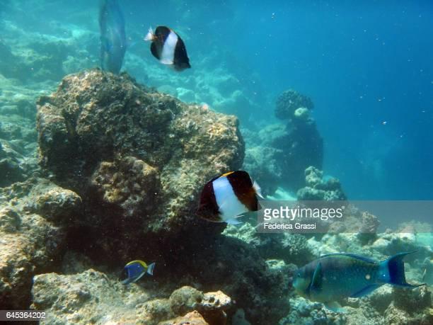 Two Black Pyramid Butterflyfish (Hemitaurichthys Zoster)