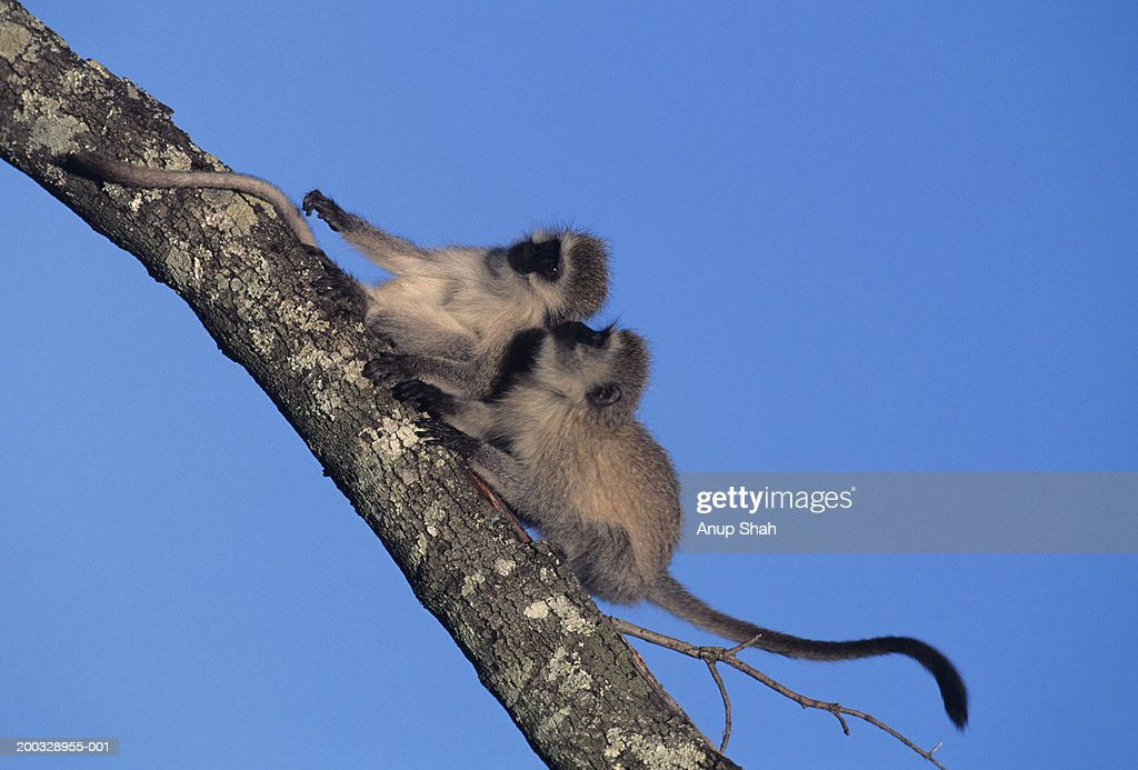Two black-faced vervets (Cercopithecus aethiops), resting on tree branch, Kenya : Stock Photo