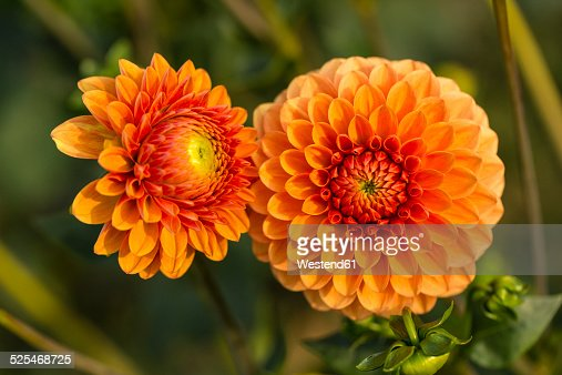 Two blossoms of orange dahlia, Dahlia