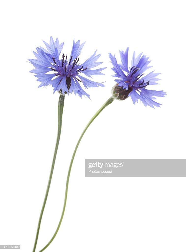 Two Blue Cornflowers ( Centaurea cyanus ).