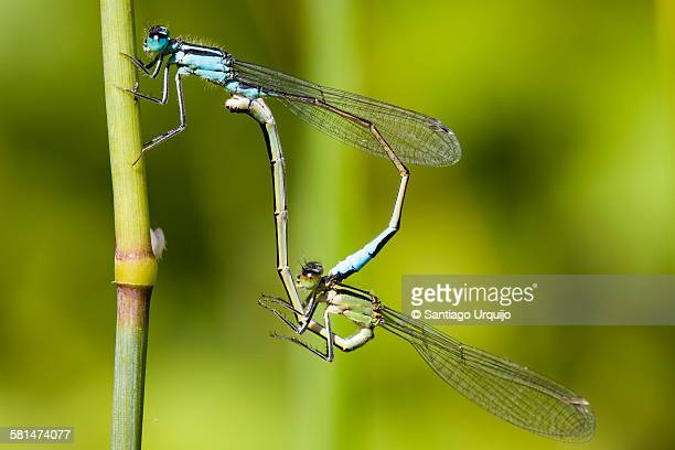 Two blue-tailed damselfly mating