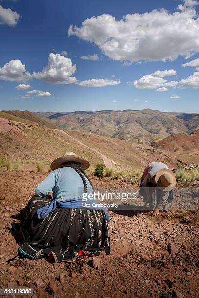 Two Bolivian farmers are harvesting potatoes in the Andes of Bolivia on April 14 2016 in Sacaca Bolivia