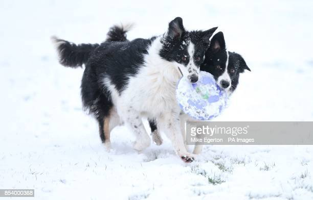 Two border collie dogs enjoy playing in the snow in Bingham Nottinghamshire as the first wave of snow will hit most of the country and some eastern...