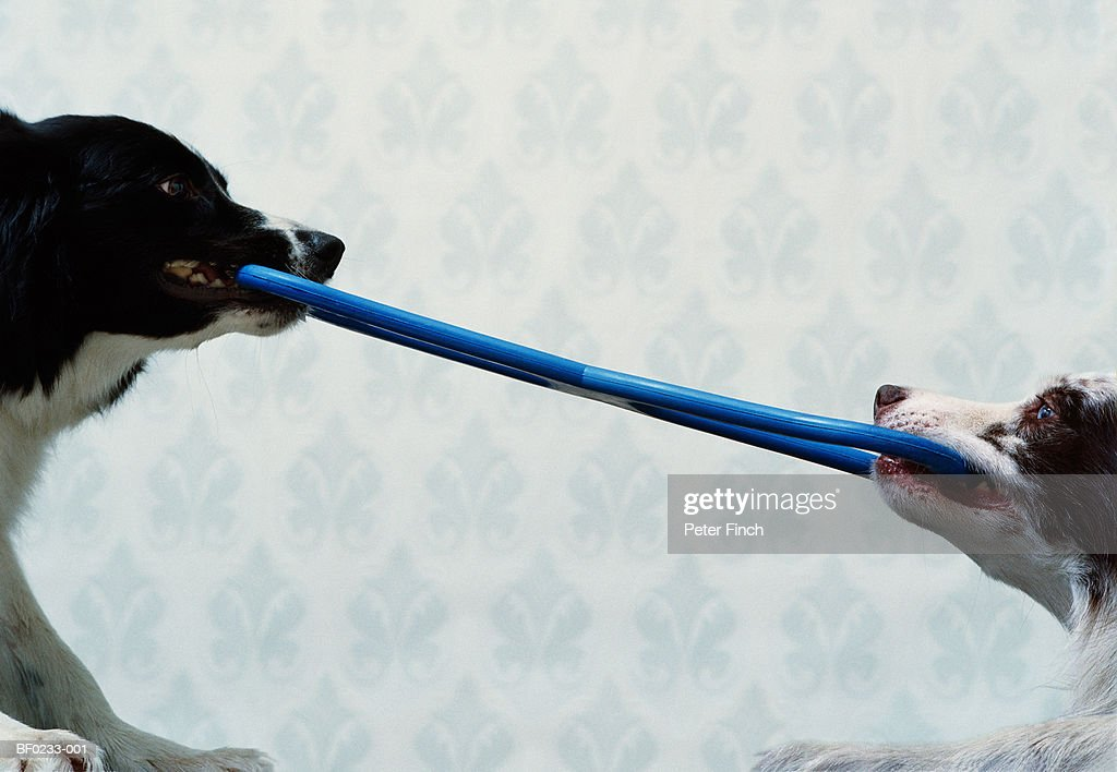 Two border collies tugging rubber toy, close-up : Stock Photo