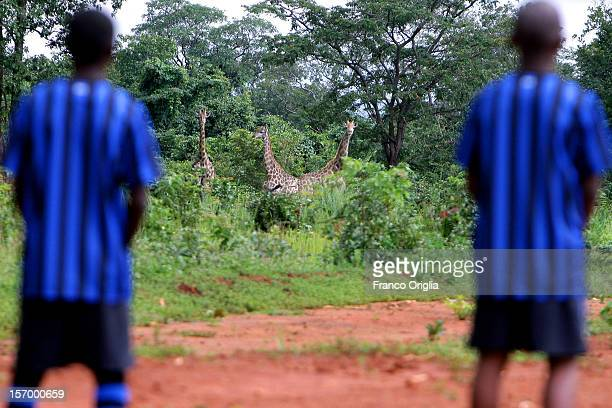 Two boys involved in the Intercampus Project urinate below the gaze of giraffes during an excursion at the Futuka farm on February 25 2012 in...