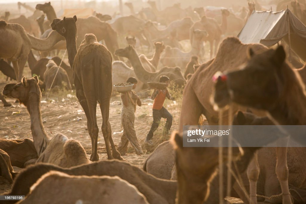 Two boys walk past camels during the Pushkar camel fair on November 21, 2012 in Pushkar, India. The annual camel and livestock fair is held over five days, and attracts thousands of tourists.