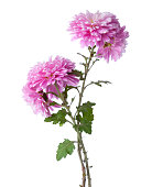Two branches  with flowers of chrysanthemums isolated on white background.