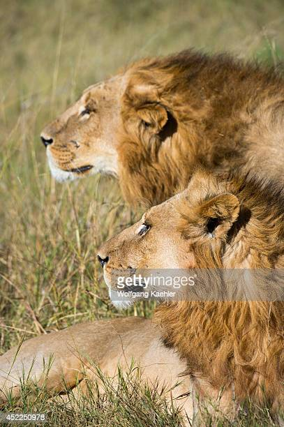 Two brother male lions looking for prey at the Linyanti Reserve near the Savuti Channel in northern part of Botswana
