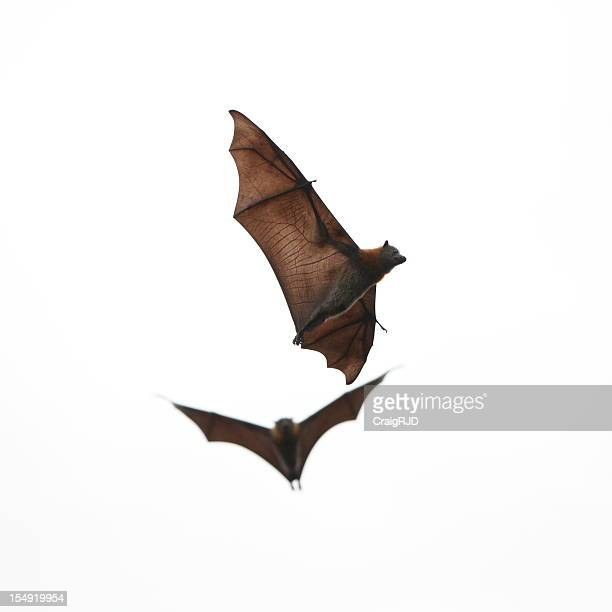 Two brown bats flying on white background