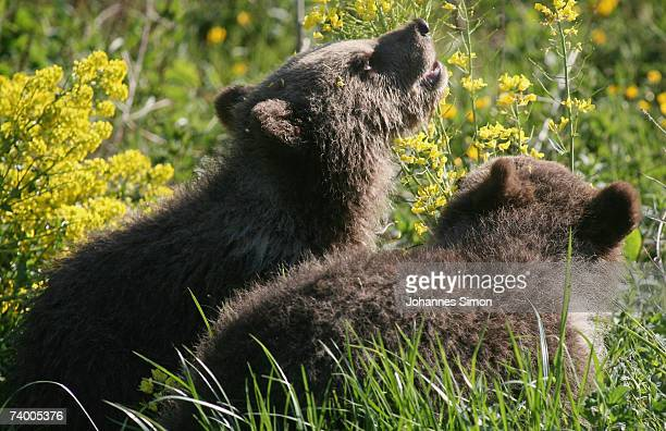 Two brown bear cubs play at a wildlife park on April 27 in Poing Germany There is a discussion in Bavaria over reintroducing bears into the wild...