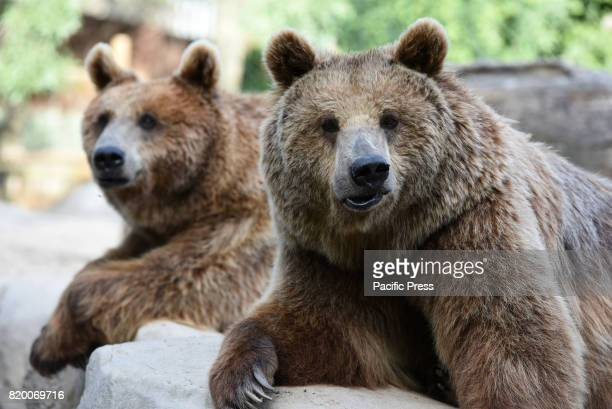 Two Brown bear pictured waiting for food at Madrid zoo