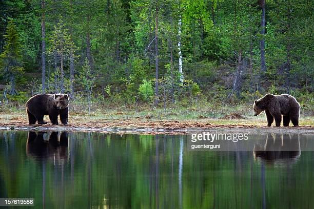 Deux ours brun dans un lac dans la lumière du matin, la vie sauvage-Image