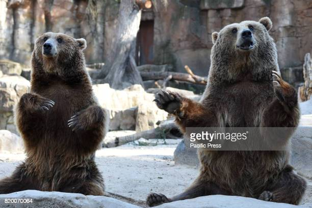 Two Brown bears pictured waiting for food at Madrid zoo