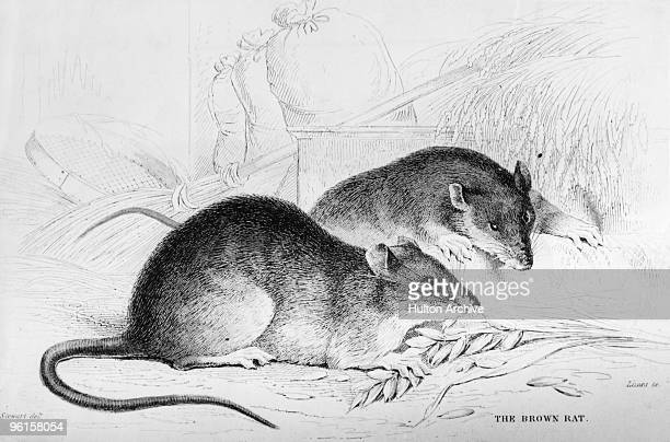 Two brown rats gnaw on an ear of wheat circa 1850 An engraving by Lizars after a drawing by Stewart
