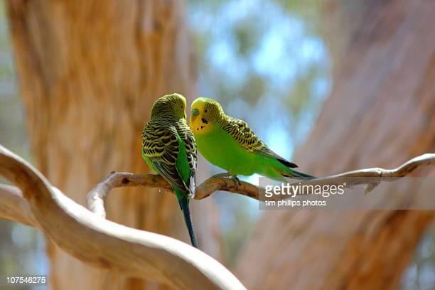 Two Budgerigars Australia