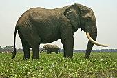 Two bull african elephants (Loxodonta africana) standing in Zambezi River, Mana Pools National Park, Zimbabwe