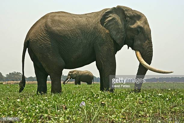 Two bull african elephants (Loxodonta africana) standing in Zambezi River, Mana Pools National Park, Zimbabwe