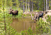 Two moose (Alces alces) drinking from a small pond, surrounded by evergreen forest.