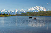 Two bull moose feeding in Wonder Lake with the Alaska Range in the background, Denali National Park, Alaska.