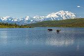 Two bull moose feeding in Wonder Lake with the Alaska Range in the background, Denali National Park, Alaska.
