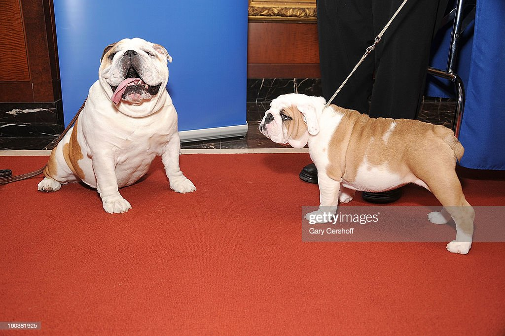 Two Bulldogs, Munch (L) and Dominique pose for pictures as the American Kennel Club Announces Most Popular Dogs in the U.S. on January 30, 2013 in New York City.