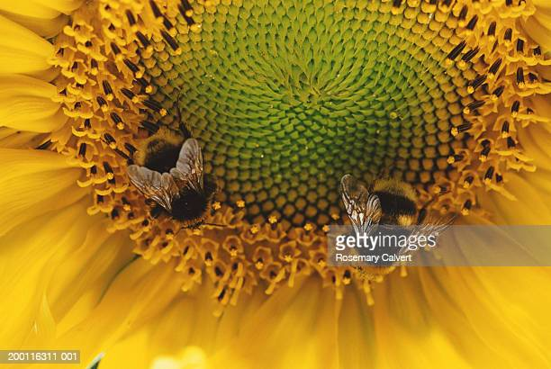 Two bumblebees gathering nectar from sunflower, close-up