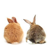 Two bunnies isolated on a white background