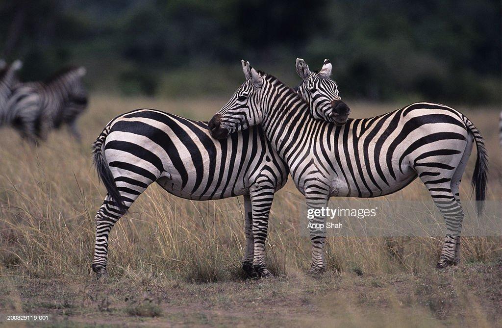 Two Burchell's zebras (Equus burchelli), face to face, Kenya