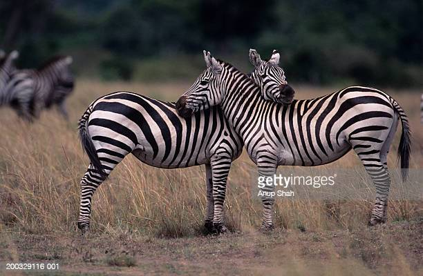 Two Burchell's zebras (Equus burchelli), face to face, Kenya