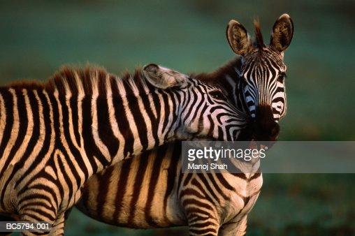Two Burchell's zebras (Equus burchelli) nuzzling, Kenya : Stock Photo