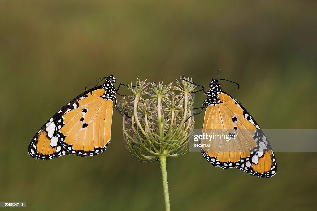 Dos mariposas en flores. : Foto de stock