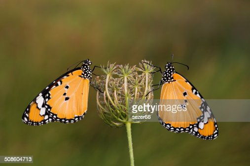 Two butterflies on a  flower. : Stock Photo