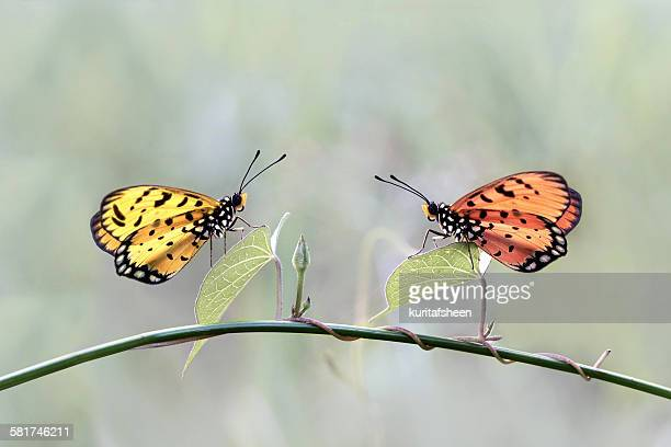 Two butterflies on a plant