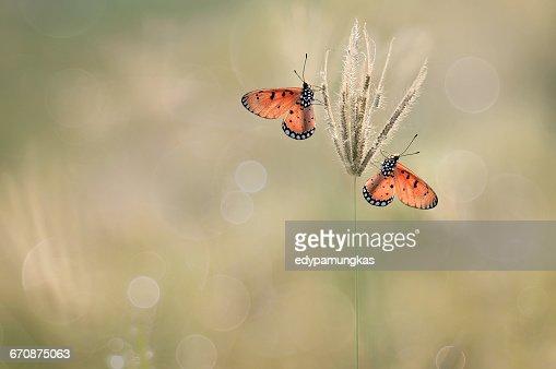 Two butterflies on grass, Jombang, East Java, Indonesia