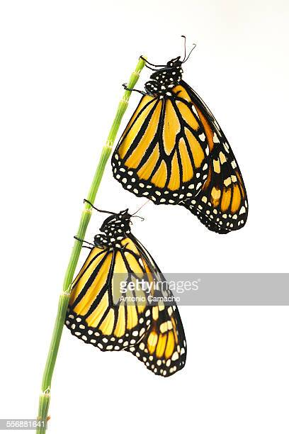 Two butterfly