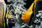 Two Butterflyfish