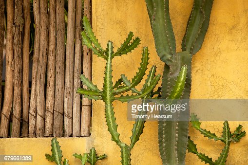 Two cactus varieties against a yellow wall : Stock Photo