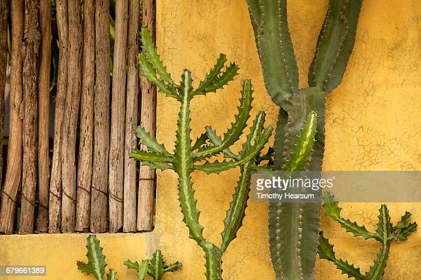 Two cactus varieties against a yellow wall