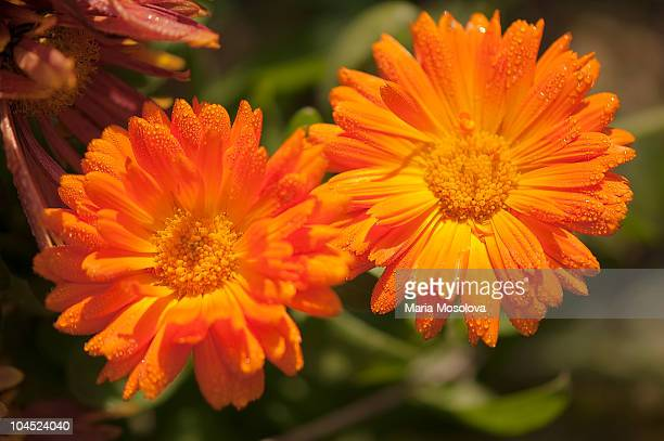 Two calendula flowers with petals covered with dew