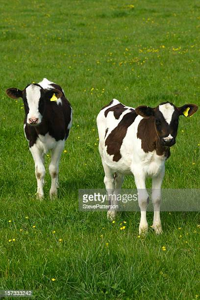 two calves in a green field