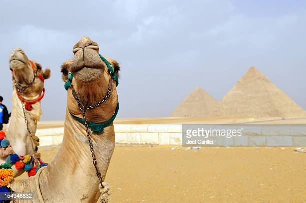 Two camels at Pyramids in Giza, Egypt